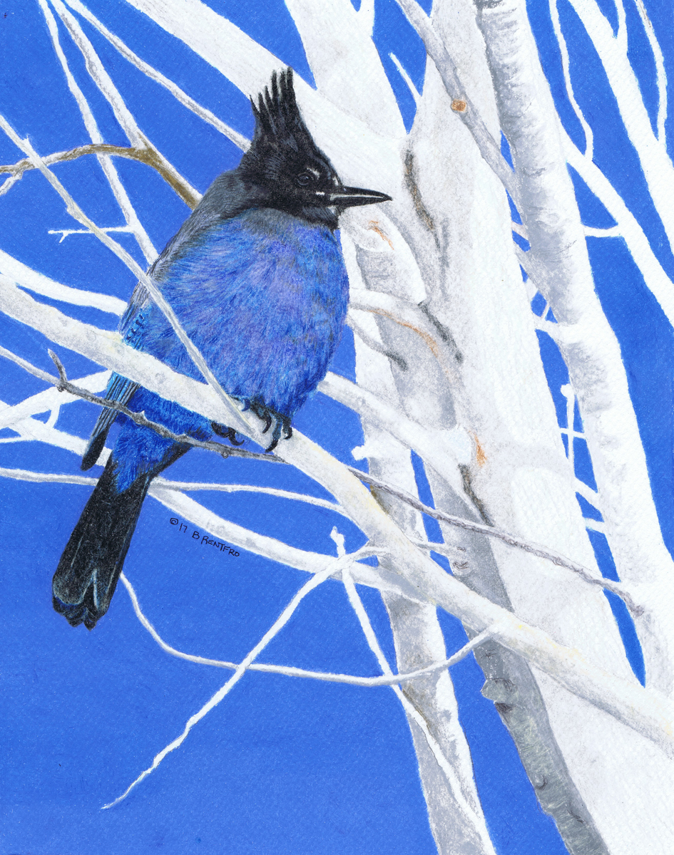 Steller's Jay (large view)