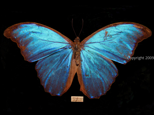 Morpho rhetenor  (