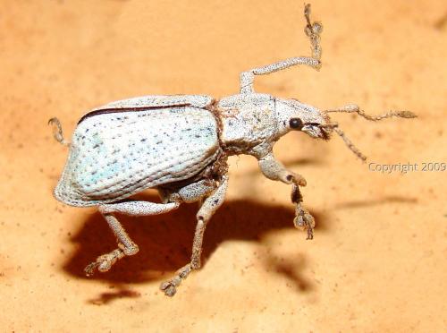 Curculionidae   (
