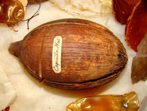 Coquilla nut  (