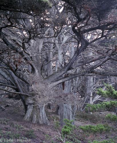 Silver Cypress