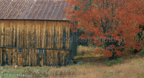 Red tree and Barn