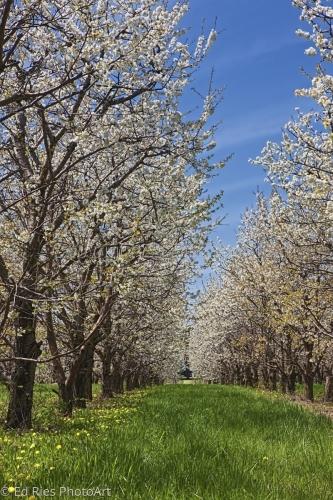 Memories of Apple Blosssoms
