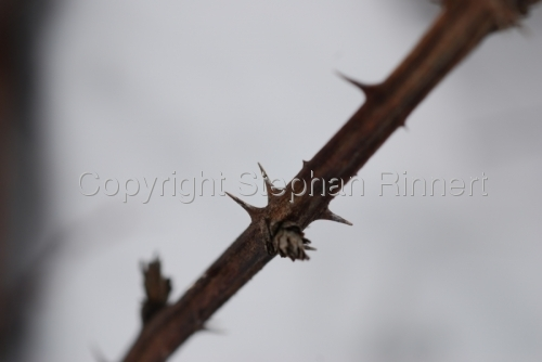 Sharp Thorns