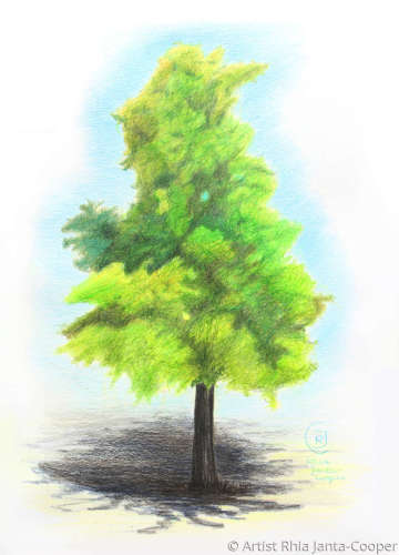Tree drawing, Acacia