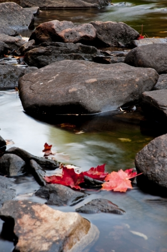 Red leaves in river