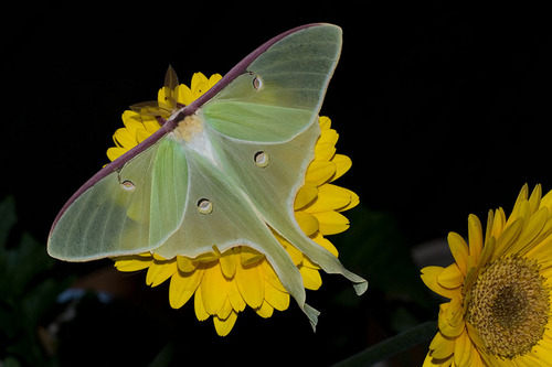 Luna Moth on flower
