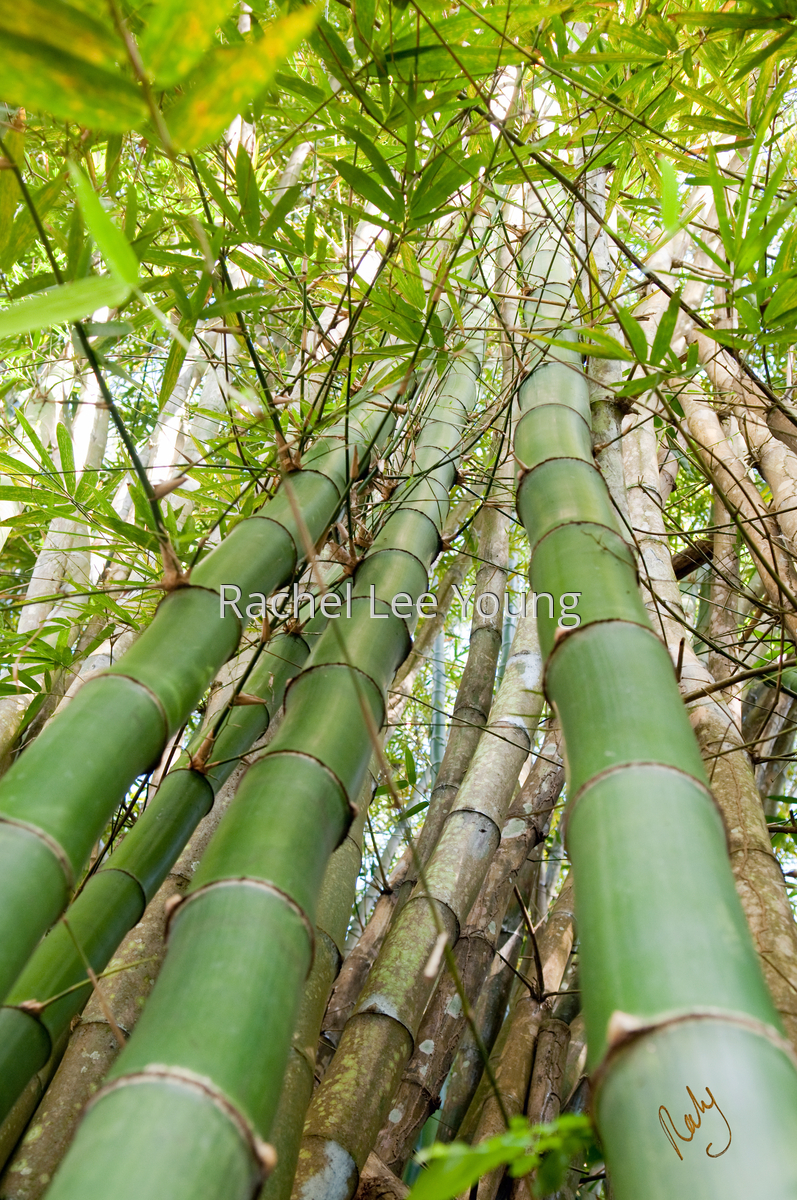 Bamboo I (large view)