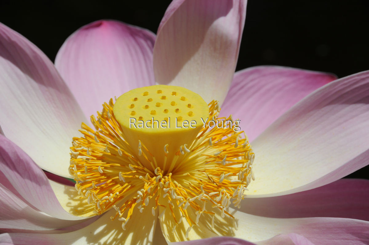 Lotus Flower Nelumbo Lucifera (large view)