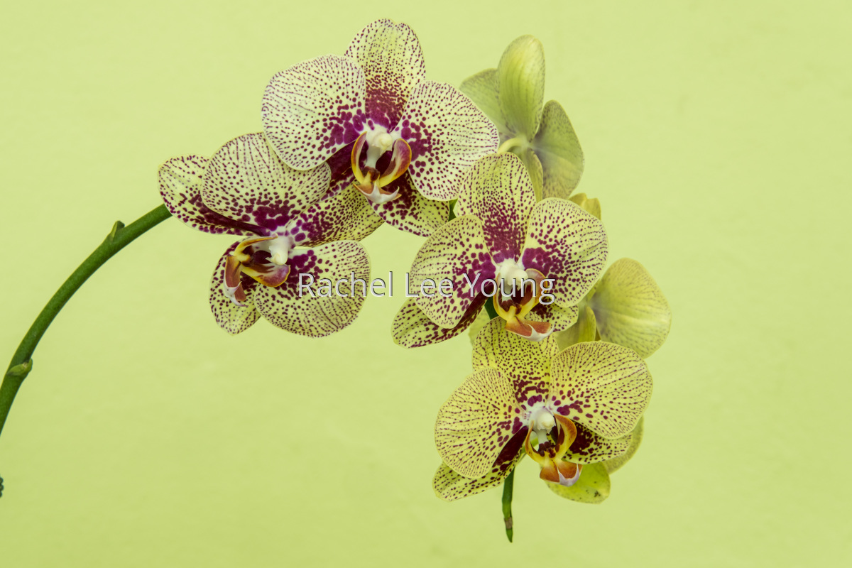 Phalaenopsis orchid (large view)