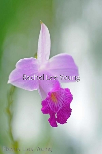 Bamboo Orchid 3