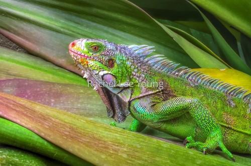 Granddaddy Iguana
