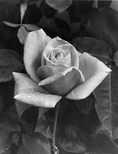Jean's Rose 2