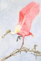 watercolor painting of a pink spoonbill in breeding plumage landing on a branch (thumbnail)