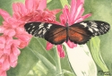watercolor painting of a red and black butterfly resting on a pink and red ginger bloom and sipping nectar (thumbnail)