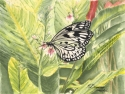 watercolor painting of a black and white rice paper butterfly sipping nectar from a pink flower with green and yellow ginger leaves in the background (thumbnail)