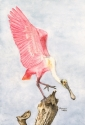 watercolor painting of a pink spoonbill in breeding plumage landing on a broken tree branch (thumbnail)