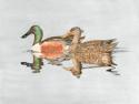 Northern Shoveler Ducks (thumbnail)
