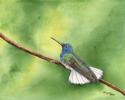 WHITE-NECKED JACKOBIN HUMMINGBIRD (thumbnail)
