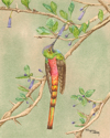 RED-TAILED COMET HUMMINGBIRD (thumbnail)