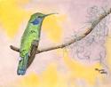 GREEN VIOLET EAR HUMMINGBIRD (thumbnail)