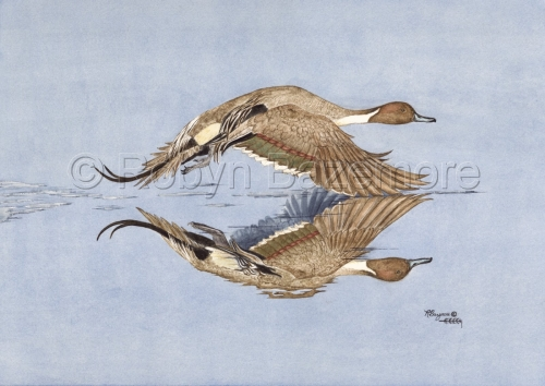 'PINTAIL REFLECTION' by Robyn Bazemore
