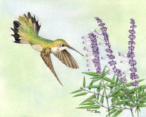 FEMALE RUBY-THROATED HUMMINGBIRD (large view)