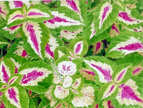 Coleus, Hookers Green (large view)