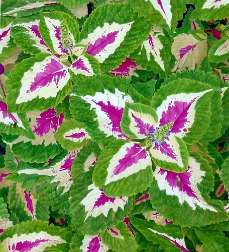 Coleus, Windsor Green (large view)