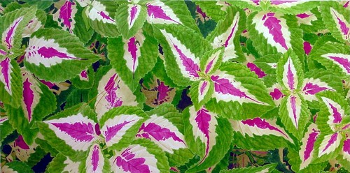 Coleus with Water (large view)