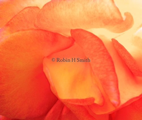 Apricot Peach Soft Colored Rose Pedals Close-up