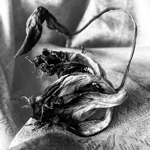 Contorted Tulip