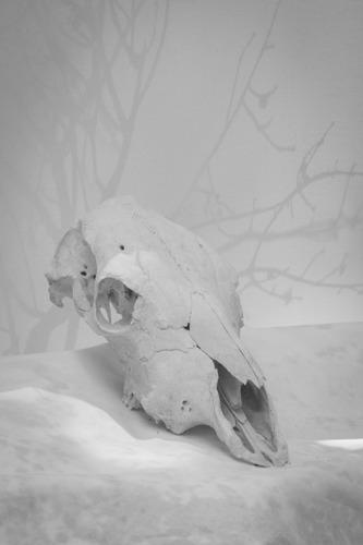 Cow Skull Study I