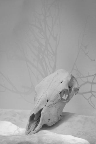 Cow Skull Study II