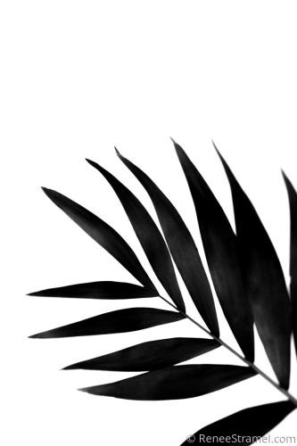 Black Palm II