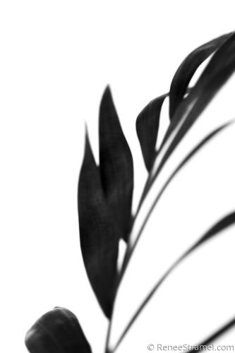 Black Palm III