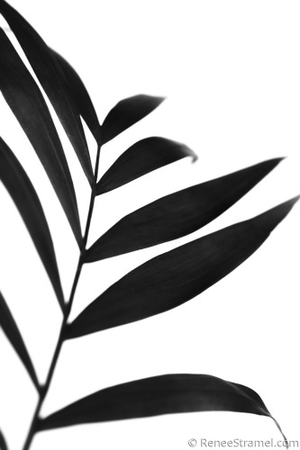 Black Palm IV