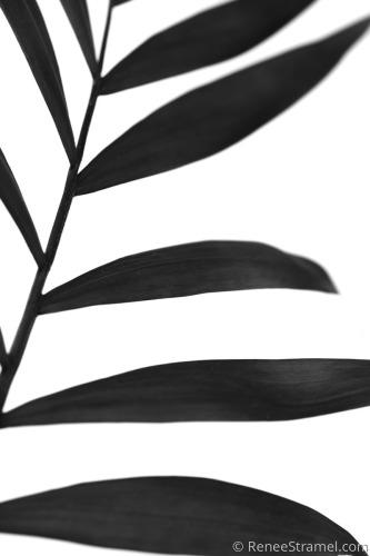 Black Palm V
