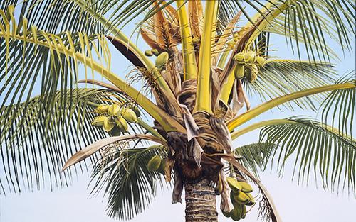 Lotsa Coconuts (large view)