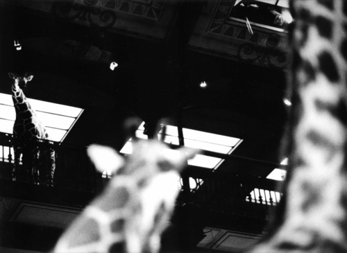 girafs (large view)