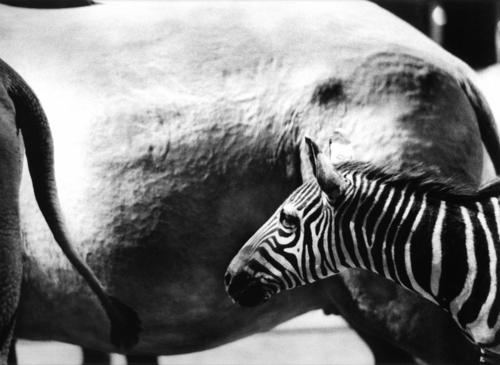zebra (large view)