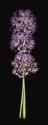 Photography--Color-FloralAllium Bunch Vertical