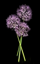 Photography--Color-FloralAllium Bouquet of Three