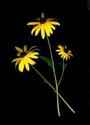 Photography--Color-FloralBlack Eyed Susans