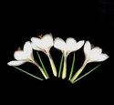 Photography--Color-FloralCrocuses White Full