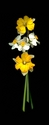 Photography--Color-FloralDaffodils Mixed, Vertical