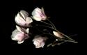 Photography--Color-FloralMagnolias Horizontal