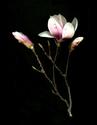 Photography--Color-FloralMagnolias Three