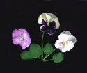Photography--Color-FloralPansies