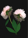Photography--Color-FloralPeonies Backs